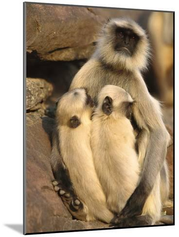 Hanuman or Grey or Common Langur (Semnopithecus Entellus) Mother Nursing Twins-Cyril Ruoso-Mounted Photographic Print