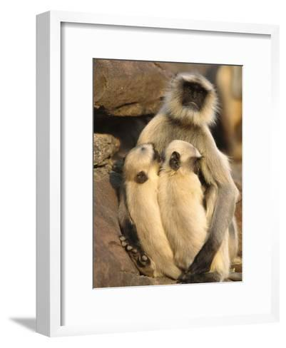 Hanuman or Grey or Common Langur (Semnopithecus Entellus) Mother Nursing Twins-Cyril Ruoso-Framed Art Print