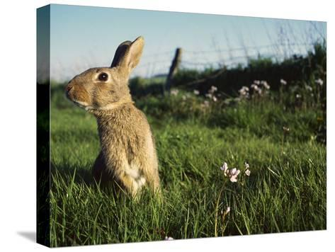European Rabbit (Oryctolagus Cuniculus) in a Meadow, France-Cyril Ruoso-Stretched Canvas Print