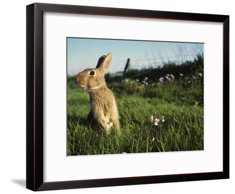 European Rabbit (Oryctolagus Cuniculus) in a Meadow, France-Cyril Ruoso-Framed Art Print