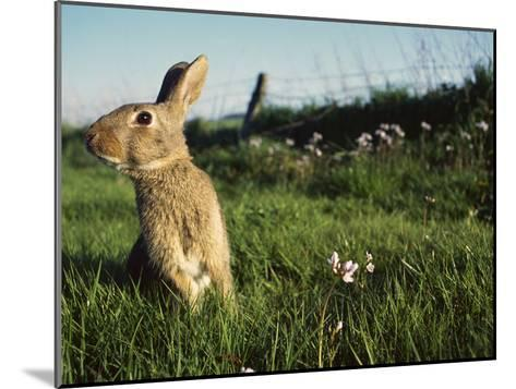 European Rabbit (Oryctolagus Cuniculus) in a Meadow, France-Cyril Ruoso-Mounted Photographic Print