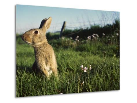 European Rabbit (Oryctolagus Cuniculus) in a Meadow, France-Cyril Ruoso-Metal Print