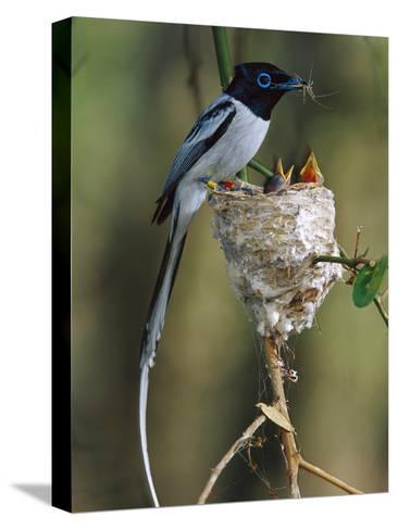 Madagascar Paradise Flycatcher (Terpsiphone Mutata) Male White Morph Feedingchicks-Cyril Ruoso-Stretched Canvas Print