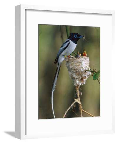 Madagascar Paradise Flycatcher (Terpsiphone Mutata) Male White Morph Feedingchicks-Cyril Ruoso-Framed Art Print
