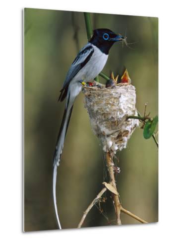 Madagascar Paradise Flycatcher (Terpsiphone Mutata) Male White Morph Feedingchicks-Cyril Ruoso-Metal Print
