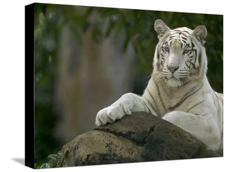 Melanistic or White Bengal Tiger (Panthera Tigris Tigris) Adult Resting-Cyril Ruoso-Stretched Canvas Print