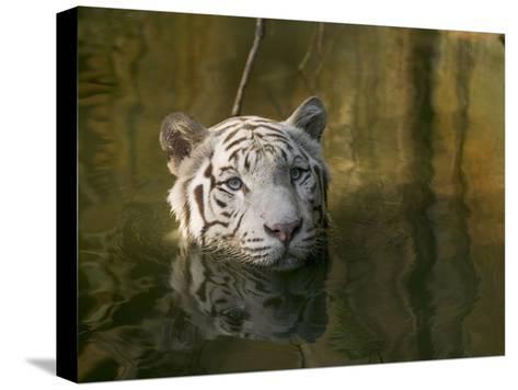 Melanistic or White Bengal Tiger (Panthera Tigris Tigris) Wading Through Water, Native to Asia-Cyril Ruoso-Stretched Canvas Print