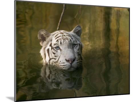 Melanistic or White Bengal Tiger (Panthera Tigris Tigris) Wading Through Water, Native to Asia-Cyril Ruoso-Mounted Photographic Print
