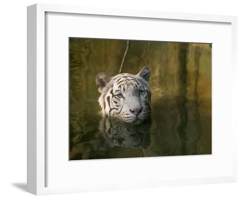 Melanistic or White Bengal Tiger (Panthera Tigris Tigris) Wading Through Water, Native to Asia-Cyril Ruoso-Framed Art Print