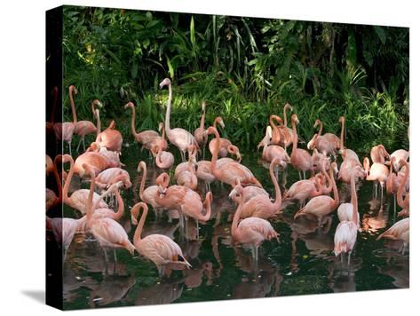 Greater Flamingo (Phoenicopterus Ruber) Flock Wading in Shallow Water-Cyril Ruoso-Stretched Canvas Print