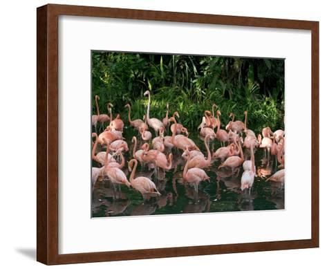 Greater Flamingo (Phoenicopterus Ruber) Flock Wading in Shallow Water-Cyril Ruoso-Framed Art Print