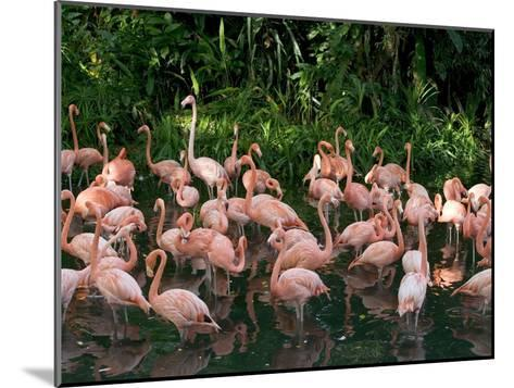 Greater Flamingo (Phoenicopterus Ruber) Flock Wading in Shallow Water-Cyril Ruoso-Mounted Photographic Print