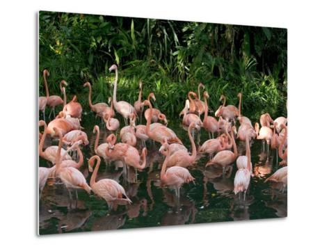 Greater Flamingo (Phoenicopterus Ruber) Flock Wading in Shallow Water-Cyril Ruoso-Metal Print