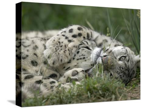 Snow Leopard (Uncia Uncia) Pair Playing Together, Endangered, Native to Asia and Russia-Cyril Ruoso-Stretched Canvas Print