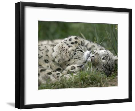 Snow Leopard (Uncia Uncia) Pair Playing Together, Endangered, Native to Asia and Russia-Cyril Ruoso-Framed Art Print
