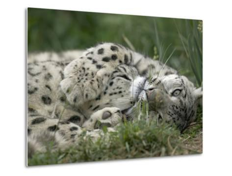 Snow Leopard (Uncia Uncia) Pair Playing Together, Endangered, Native to Asia and Russia-Cyril Ruoso-Metal Print