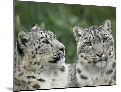 Snow Leopard (Uncia Uncia) Pair Resting Together, Endangered, Native to Asia and Russia-Cyril Ruoso-Mounted Photographic Print