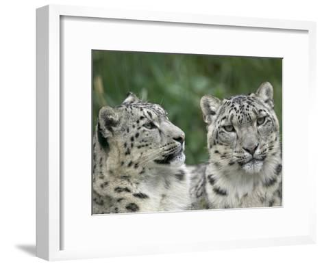 Snow Leopard (Uncia Uncia) Pair Resting Together, Endangered, Native to Asia and Russia-Cyril Ruoso-Framed Art Print