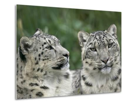 Snow Leopard (Uncia Uncia) Pair Resting Together, Endangered, Native to Asia and Russia-Cyril Ruoso-Metal Print