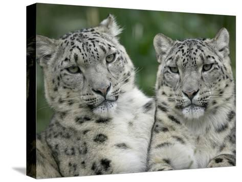 Snow Leopard (Uncia Uncia) Pair Sitting Together, Endangered, Native to Asia and Russia-Cyril Ruoso-Stretched Canvas Print