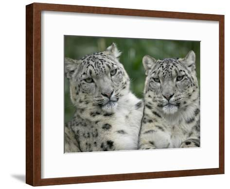 Snow Leopard (Uncia Uncia) Pair Sitting Together, Endangered, Native to Asia and Russia-Cyril Ruoso-Framed Art Print