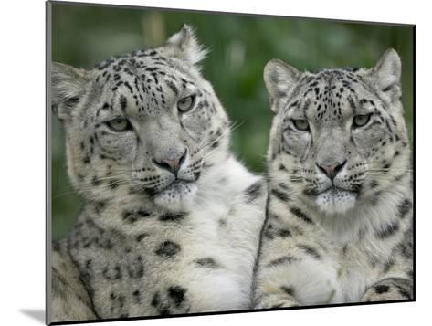 Snow Leopard (Uncia Uncia) Pair Sitting Together, Endangered, Native to Asia and Russia-Cyril Ruoso-Mounted Photographic Print