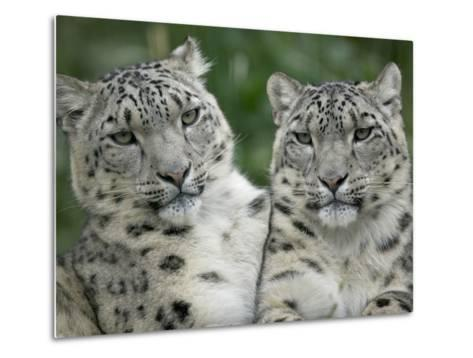 Snow Leopard (Uncia Uncia) Pair Sitting Together, Endangered, Native to Asia and Russia-Cyril Ruoso-Metal Print