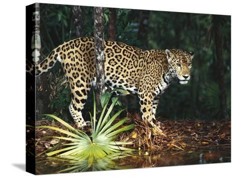 Jaguar (Panthera Onca) Belize Zoo, Belize-Gerry Ellis-Stretched Canvas Print
