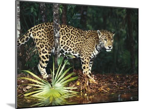 Jaguar (Panthera Onca) Belize Zoo, Belize-Gerry Ellis-Mounted Photographic Print