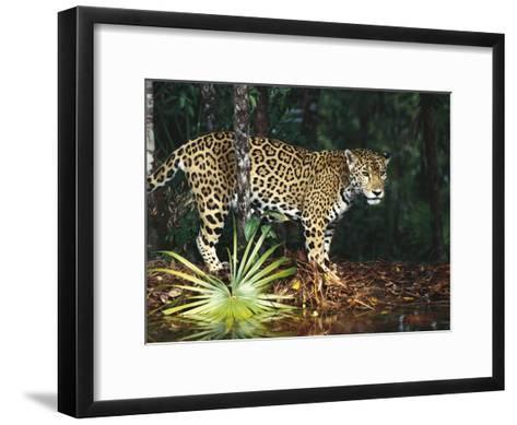 Jaguar (Panthera Onca) Belize Zoo, Belize-Gerry Ellis-Framed Art Print