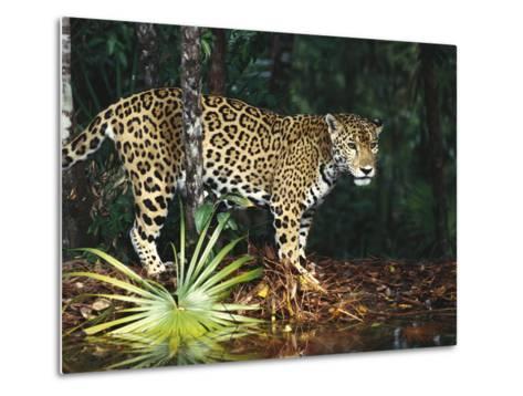 Jaguar (Panthera Onca) Belize Zoo, Belize-Gerry Ellis-Metal Print