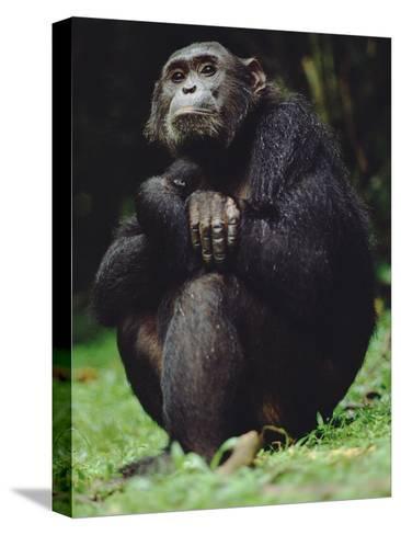 Chimpanzee (Pan Troglodytes), Gombe Stream National Park, Tanzania-Gerry Ellis-Stretched Canvas Print