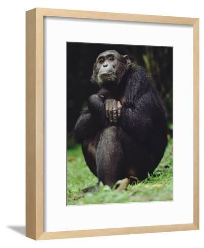 Chimpanzee (Pan Troglodytes), Gombe Stream National Park, Tanzania-Gerry Ellis-Framed Art Print