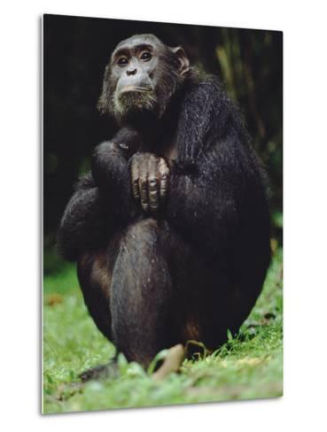 Chimpanzee (Pan Troglodytes), Gombe Stream National Park, Tanzania-Gerry Ellis-Metal Print