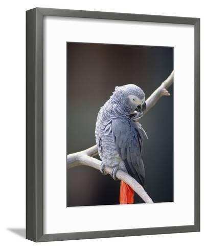 African Grey Parrot (Psittacus Erithacus) Preening, East Africa-Gerry Ellis-Framed Art Print