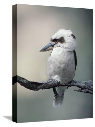 Laughing Kookaburra (Dacelo Novaeguineae) Perching on Branch, Australia-Gerry Ellis-Stretched Canvas Print