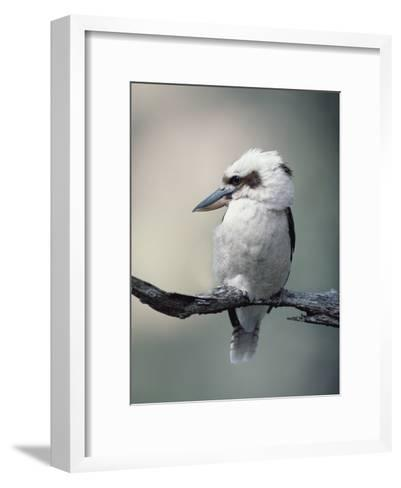 Laughing Kookaburra (Dacelo Novaeguineae) Perching on Branch, Australia-Gerry Ellis-Framed Art Print