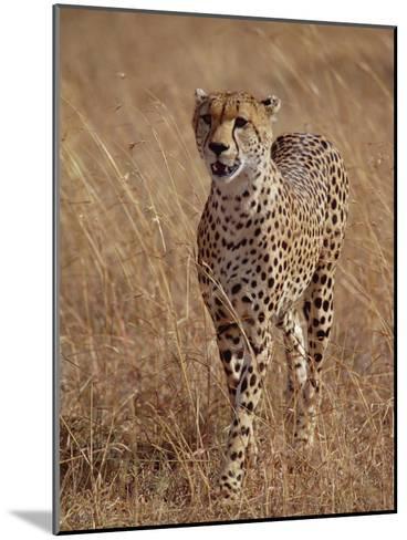 Cheetah (Acinonyx Jubatus), Walking on Savannah, Masai Mara National Reserve, Kenya-Gerry Ellis-Mounted Photographic Print