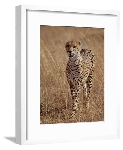 Cheetah (Acinonyx Jubatus), Walking on Savannah, Masai Mara National Reserve, Kenya-Gerry Ellis-Framed Art Print