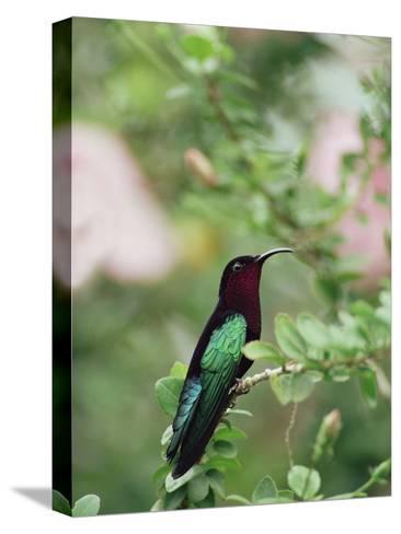 Purple-Throated Carib (Eulampis Jugularis) Hummingbird, Perching, Lesser Antilles-Gerry Ellis-Stretched Canvas Print