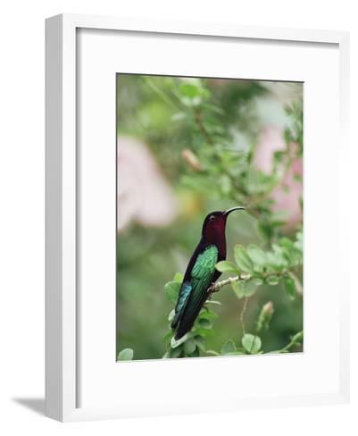 Purple-Throated Carib (Eulampis Jugularis) Hummingbird, Perching, Lesser Antilles-Gerry Ellis-Framed Art Print