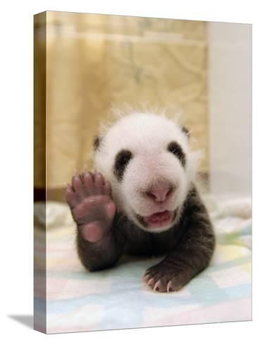 Giant Panda (Ailuropoda Melanoleuca) Cub, Wolong Nature Reserve, China-Katherine Feng-Stretched Canvas Print