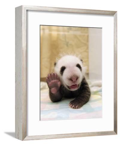 Giant Panda (Ailuropoda Melanoleuca) Cub, Wolong Nature Reserve, China-Katherine Feng-Framed Art Print