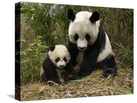 Giant Panda (Ailuropoda Melanoleuca) Adult, Wolong Nature Reserve, China-Katherine Feng-Stretched Canvas Print