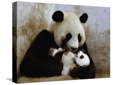 Giant Panda (Ailuropoda Melanoleuca) Caring for Cub, Wolong Nature Reserve, China-Katherine Feng-Stretched Canvas Print