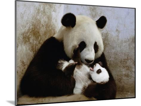 Giant Panda (Ailuropoda Melanoleuca) Caring for Cub, Wolong Nature Reserve, China-Katherine Feng-Mounted Photographic Print