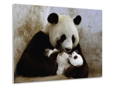 Giant Panda (Ailuropoda Melanoleuca) Caring for Cub, Wolong Nature Reserve, China-Katherine Feng-Metal Print