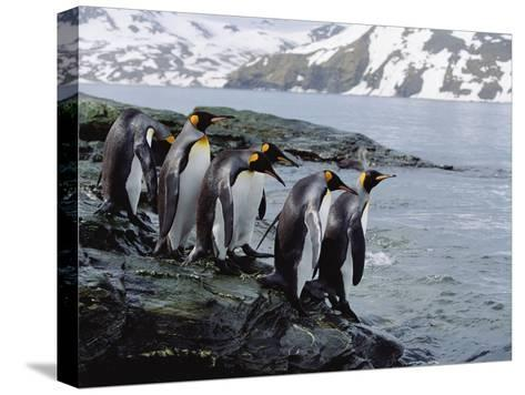King Penguins (Aptenodytes Patagonicus) Approaching Shoreline, South Georgia Island-Konrad Wothe-Stretched Canvas Print