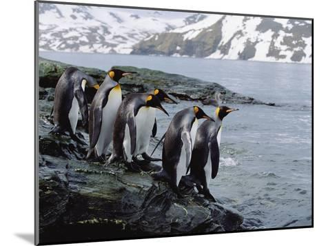 King Penguins (Aptenodytes Patagonicus) Approaching Shoreline, South Georgia Island-Konrad Wothe-Mounted Photographic Print