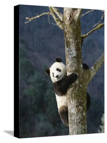 Giant Panda (Ailuropoda Melanoleuca) Climbing Tree, Endangered, Wolong Valley, China-Konrad Wothe-Stretched Canvas Print